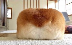 Loaf of bread or corgi bum?