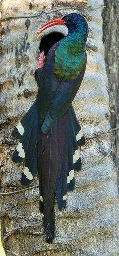 Green Woodhoopoe, formerly known as the red-billed wood hoopoe.
