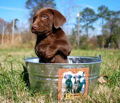 Cute Chocolate Lab Puppy sitting in a tin bath