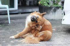 Atopie beim Hund Ursachen und Behandlung Dog Benadryl, Dog Ear Mites, Atopische Dermatitis, Dog Ear Cleaner, Natural Pet Food, Itch Relief, Flea Treatment, Dog List, Brown Dog