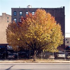 Callery pear tree in fall from New York City of Trees, Gardenista