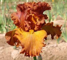 Výsledek obrázku pro lumiere d'automne iris