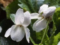 Flores de violetas blancas.