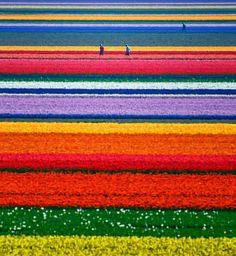 Campo de tulipas – Holanda. A natureza tem coisas incríveis e algumas delas vou postar aqui só para você dar uma olhadinha, e ai quem sabe, você pode querer ir conhecer esses lugares  inimagináveis e lindos.