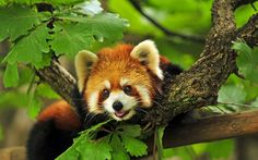 On my cakeday all I want to do is spread awareness of my favorite animal the Red Panda.