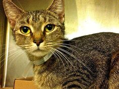 TO BE DESTROYED 10/22/13 Manhattan Center  My name is JADE. My Animal ID # is A0981484. I am a spayed female brn tabby domestic sh mix. The shelter thinks I am about 1 YEAR  I came in the shelter as a OWNER SUR on 10/08/2013 from NY 10456, owner surrender reason stated was CHILDCONFL. I came in with Group/Litter #K13-155766. https://www.facebook.com/photo.php?fbid=684181074927061&set=a.576546742357162.1073741827.155925874419253&type=3&theater
