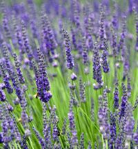 Grosso Lavender, lavandula intermedia 'Grosso', is the most fragrant of all the lavender plants. Grosso Lavender is a Lavandin which refers ...