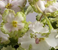African Violet Plant Buckeye Irish Lace   eBay