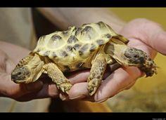 Atopodentatus, le plus vieux reptile marin herbivore, avait une tête en forme d'aspirateur
