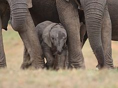 Wildlife Animals: Baby african Elephant Calf between the legs of its mother and minders Elephant Game, Elephant Facts, Kruger National Park, National Parks, Elephant Sanctuary, Network For Good, Animal Facts, Adventure Activities, African Elephant