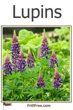 Lupins; beauty and practicality Beautiful Flowers Garden, Beautiful Gardens, Nitrogen Fixing Plants, Chicken Pen, Compost, Rainbow Colors, All The Colors, Garden Plants, Organic Gardening