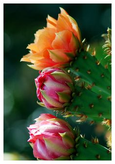 Cactus flowers in March Cacti And Succulents, Planting Succulents, Cactus Plants, Planting Flowers, Cactus Decor, Cactus Art, Exotic Flowers, Amazing Flowers, Colorful Flowers