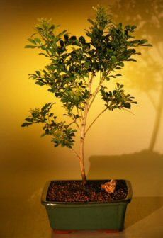 Flowering Chinese Perfume Bonsai Tree