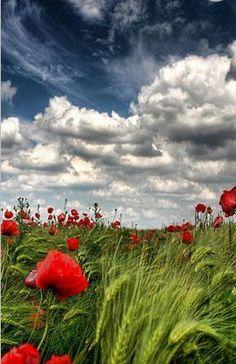 Een veld met klaproos en een prachtige lucht