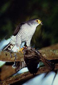 Amerikaanse Dwergsperwer - Accipiter superciliosus