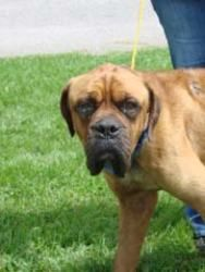 Fang is an adoptable Bullmastiff Dog in Kinston, NC. I am 2 years old and very sweet.� I need some good meals to gain some weight.� I need a forever home! For more information call the shelter at 252-...