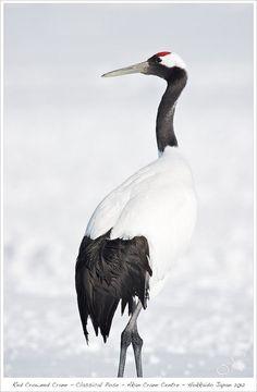 Red-crowned Japanese crane. #Crane #BirdsofPrey #BirdofPrey #Bird of Prey