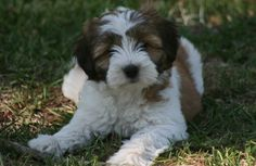 See related links to what you are looking for. Terrier Puppies, Terriers, Tibet Terrier, Afghan Hound, Wallpaper Backgrounds, Wallpapers, Dog Breeds, Cute Dogs, Dog Cat