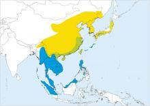 Chinese Pond-heron (Ardeola bacchus)