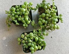 String Of Pearls Plants Succulents 2'' or 4'' Hanging Basket Senecio Rowleyanu RARE Beautiful Hanging Planter Terrarium Succulent Plants