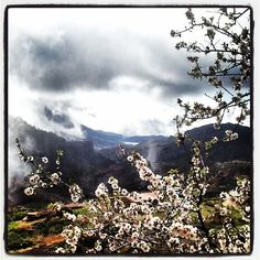 #almond #trees #blossom in the #mountains of #grancanaria #nature #naturelovers #nature_seekers #bestofinstagram #bestoftheday #sky #sunsetsofinstagram #natural #amazing