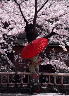 Geisha Girl holding a red umbrella with Cherry Blossoms in the background