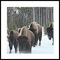 Yellowstone Buffalo Herd  Framed Print by Bill and Deb Hayes