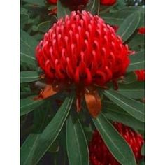 Telopea speciosissima - WARATAH Floral emblem of New South Wales. The Telopea speciosissma has truly beautiful scarlet to crimson flowers, which are borne in. Beautiful Bouquet Of Flowers, Rare Flowers, Blooming Flowers, Exotic Flowers, Amazing Flowers, Flower Petals, Beautiful Flowers, Beautiful Things, Australian Wildflowers