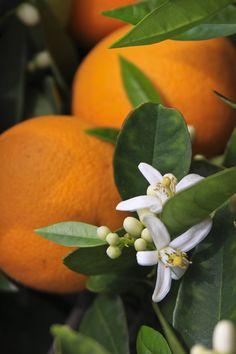 Flor de Azahar | increible el olor a azahar que hay estos di… | Flickr - Photo Sharing!