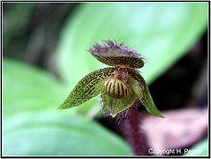 Cypripedium micranthum