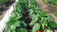 Myslite na to, keď budete sadiť a v lete nebudete vedieť čo s úrodou! Tajomstvo bohatej úrody papriky v tomto roku! Vegetable Garden, Plant Leaves, Vegetables, Plants, Vegetables Garden, Vegetable Recipes, Vegetable Gardening, Plant, Veggie Gardens