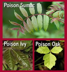 How to Identify Poison Oak, Poison Ivy, & Poison Sumac Plants ~ via http://www.buzzle.com/articles/how-to-identify-poison-oak-poison-ivy-and-poison-sumac-plants.html