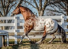 Appaloosa Stallion For Sale In Massachusetts - The Secret Pardon Most Beautiful Horses, All The Pretty Horses, Animals Beautiful, Appaloosa Horses For Sale, Quarter Horses, Horse Pictures, Funny Pictures, Horse Photography, Horse Love