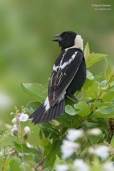 Bobolink - Dolichonyx oryzivorus.  North America  These birds migrate to Argentina, Bolivia, and Paraguay. One bird was tracked flying 12,000 miles (19,000 km) over the course of the year, and up to 1,100 miles (1,800 km) in one day.