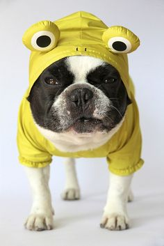 Dogs Wearing Clothes on Pinterest | French Bulldogs, Dogs ...