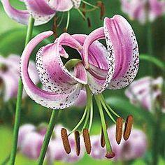 Lily lankongense