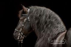 Noriker - Pferdefotografie, Hundefotografie, Fotografie Bettina Niedermayr Pferde - Mensch & Pferd - Hunde- Portrait - Stallschilder - Kalender, Pferdekalender, Haflingerkalender mit Kohlfuchs Liz. Steiermark