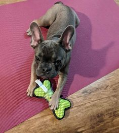 Yoga Dog Hooman put out this yoga mat for me right Yoga Dog, Free Coupon Codes, Free Blog, French Bulldog, Dog Lovers, Puppies, Make It Yourself, Dogs, Animals