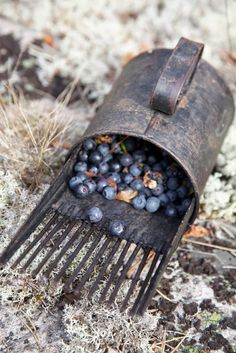 Old blueberry rake Blueberry Farm, Blueberry Bushes, Blueberry Picking, Horticulture, Blueberries For Sal, Fall Scents, Old Tools, Shades Of Blue, Fall Decor