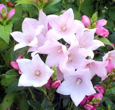 65 best balloon flower images on pinterest balloon flowers flower astra pink platycodon sunny or partial shade in containers mightylinksfo