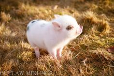 Spring has sprung at Outlaw Mini Pigs. http://www.outlawminipigs.com/home.html