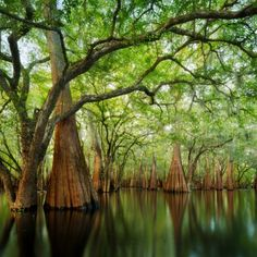 Cypress sanctuary--A backwater spot in the Suwanee River Valley, Florida by Paul Marcellini Suwanee River, Beautiful World, Beautiful Places, Beautiful Forest, Beautiful Pictures, Everglades National Park, Florida Everglades, Florida Usa, Florida Trees