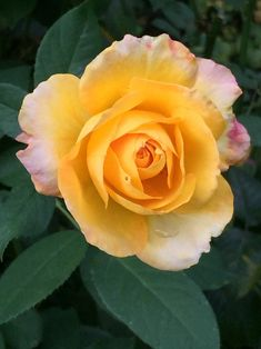 The 4338 best beautiful rose flower images on pinterest in 2018 lavender roses yellow roses red roses rose reference garden deco pretty flowers most beautiful flowers love rose chocolate roses mightylinksfo