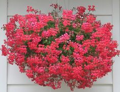 My favorite geraniums - the ones that spill over the window boxes in  Italy - Minicascade Ivy                                 Geranium