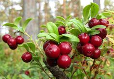Lingonberry. In Finland everyone can pick wild berries, mushrooms and flowers, as long as they are not protected species~