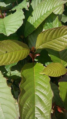 The Plant Itself - Mitragyna speciosa (Kratom) - Miracle plant or Drug Disaster?