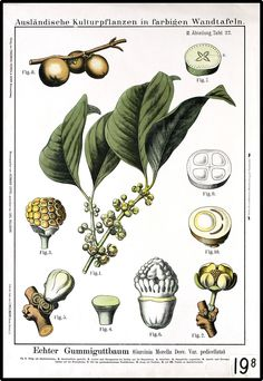 Botanical - Educational plate -  Gummiguttbaum