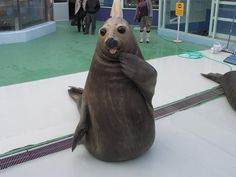 """A seal in the act of saying, """"Who, me?"""""""