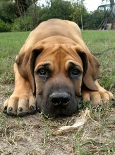 Riddick my sweet South African Boerboel.