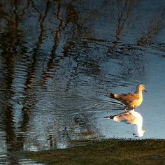 Gull Gull, Reflection, Explore, Photography, Animals, Photograph, Animales, Animaux, Fotografie